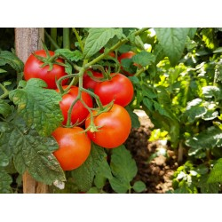 Tomate Grappe Loiretaine