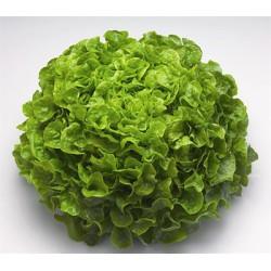 Salade Feuille de chêne 1...